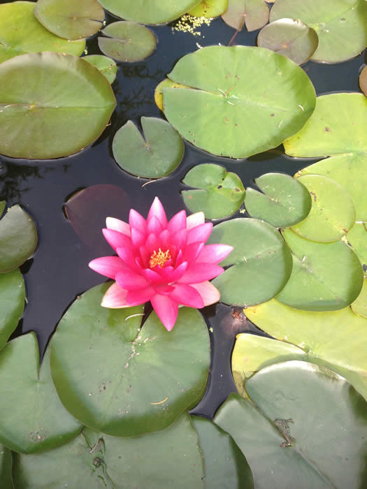 Picture of a single pink water lilly floating on a pond