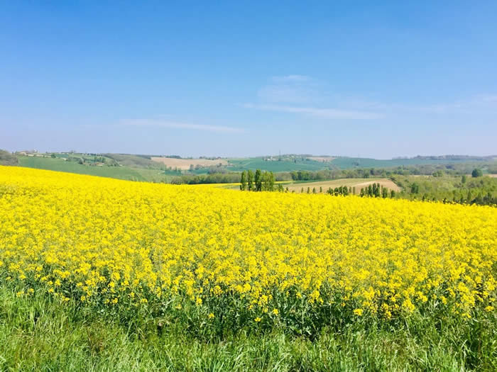 Picture of Yellow fields in rolling countryside on a beautiful sunny day